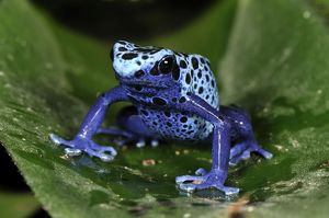 Dyeing Poison Dart Frog Blue Poison Dart Frog