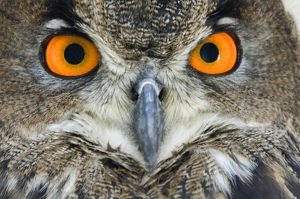 Eagle owl - Adult