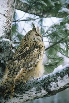 eagle owl adult birch tree forest ural mountains