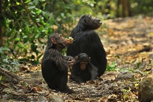 Eastern Chimpanzee / Common Chimpanzee with baby