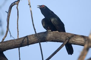 Eastern Koel - calling from an open perch