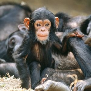 Eastern Long-haired CHIMPANZEE baby