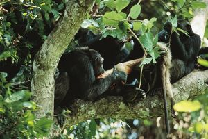 Eastern / Long-haired Chimpanzee - eating Red Colobus Monkey