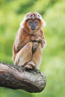 Ebony Leaf Monkey / Javan Langur - animal resting