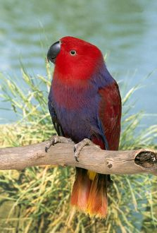 Eclectus Parrot - Hen perched on branch