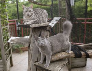 Egyptian Mau and Nebelung in Cattery