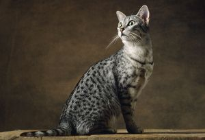 Egyptian Silver Mau Cat