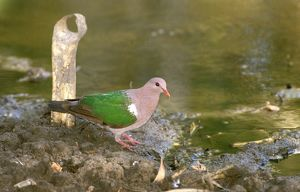 Emerald dove (Green-winged pigeon)