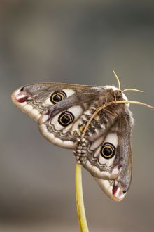Emperor Moth - female with eggs