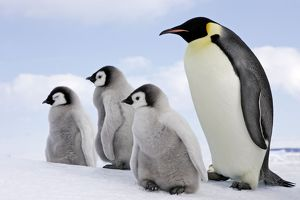 Emperor Penguin - Adult with 3 young