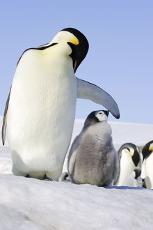 Emperor Penguin - adult with chick.