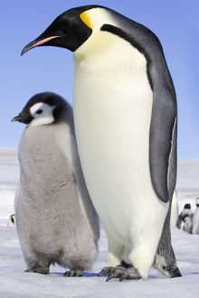 Emperor Penguin - adult and chick.