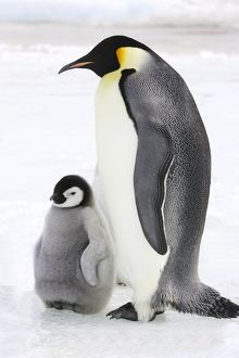 Emperor Penguin - adult and chick