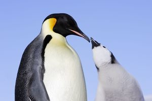 Emperor Penguin - adult and chick begging