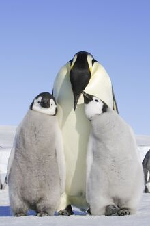 Emperor Penguin - adult and two chicks.
