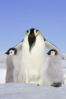 Emperor Penguin - adult and two chick.