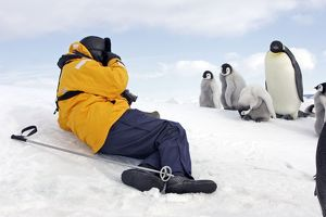 Emperor Penguin - adult and chicks being photographed by man