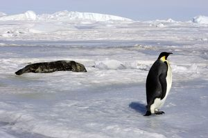 Emperor Penguin - adult with Seal in background.