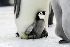 Emperor Penguin - Adult with young at feet.