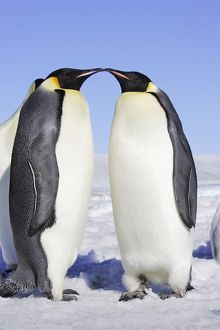 Emperor Penguin - two adults.