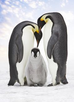 Emperor Penguin - two adults with chick.