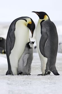 Emperor Penguin - two adults with chick