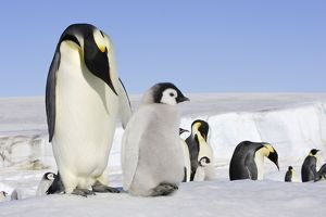 Emperor Penguin - adults with chick.