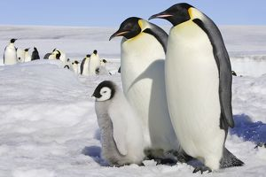 Emperor Penguin - two adults & chick