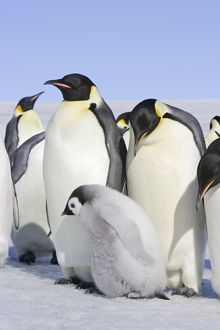 Emperor Penguin - adults & chick