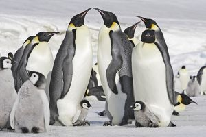 Emperor Penguin - adults and chicks