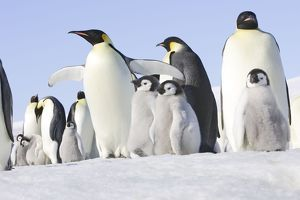 Emperor Penguin - adults and chicks.