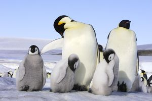 Emperor Penguin - adults & chicks