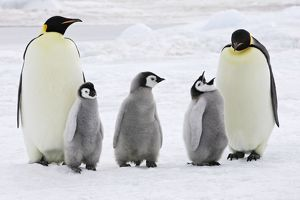 Emperor Penguin - adults with three chicks