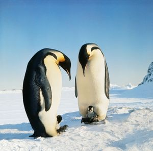 Emperor Penguin - family in snow