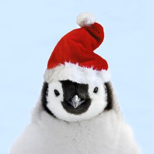 Emperor Penguin - chick wearing Christmas hat.