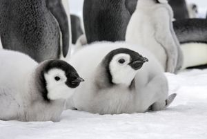 Emperor Penguin - two chicks