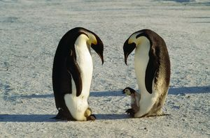 Emperor Penguin - One with egg on feet, other with chick