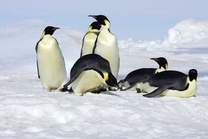 Emperor Penguin - group of adults