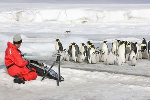 Emperor Penguin - group of adults and chicks being
