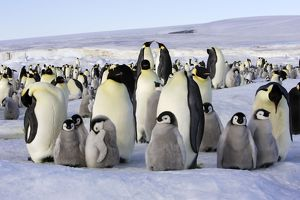 Emperor Penguin - group of adults and chicks