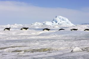 Emperor Penguin - group of adults sliding across ice.
