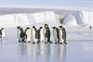 Emperor Penguin - line of adults standing on ice