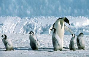 Emperor Penguin marshalling young