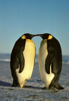 Emperor Penguin - pair facing each other