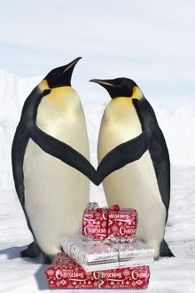 Emperor Penguin - pair holding hands / wings