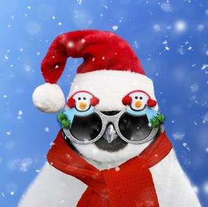 Emperor Penguin wearing a Santa hat and Snowman sunglasses