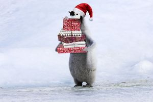 Emperor Penguin - Young carrying Christmas present