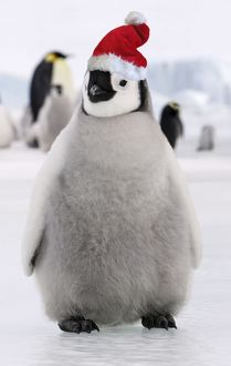 Emperor Penguin - young wearing Chistmas hat