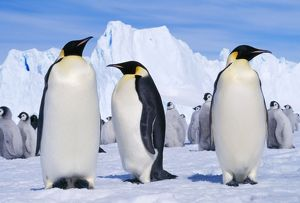 EMPEROR PENGUINS - three adults, with young behind