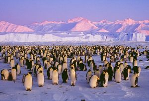 EMPEROR PENGUINS - colony on ice, pink light
